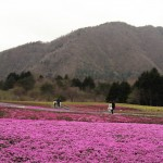 Japan Travel Blog April 2015: Mt. Fuji Shibazakura